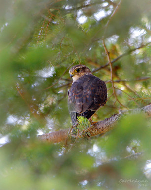 Merlin Falcon