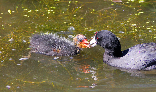 Feeding Baby Coot