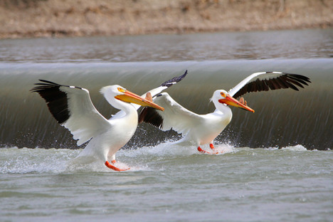 Pelicans at the Weir