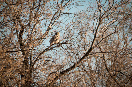 Spring Great Horned Owl