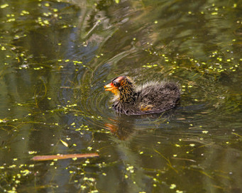 Baby Coot