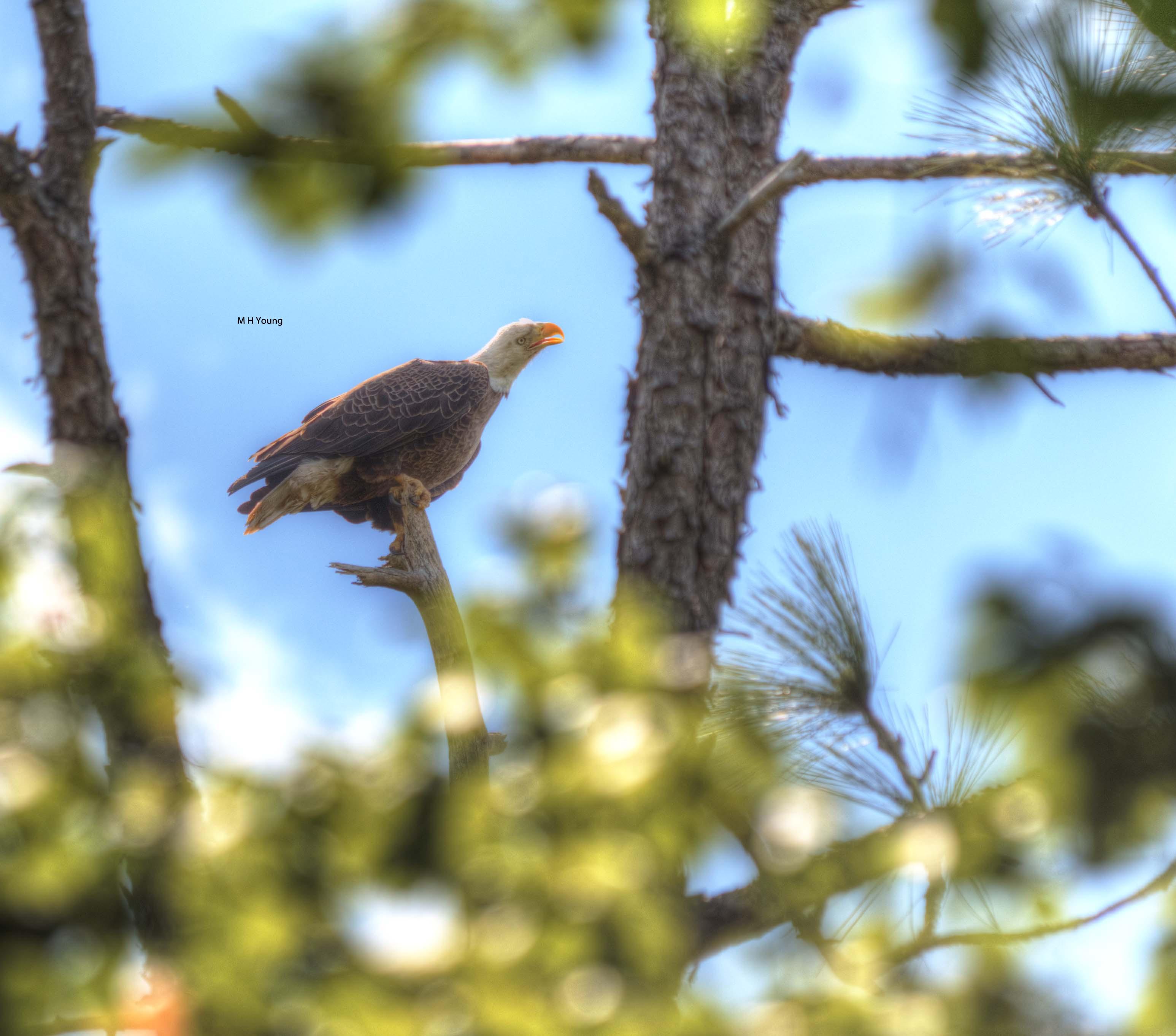 Eagle  #3 wmlr