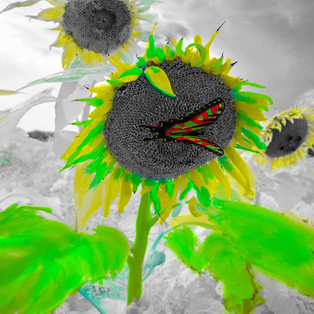 I R sunflowers butterfly