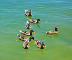 Ducks Momma & 7 ldi WM.jpg
