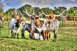 Cows Longhorn's