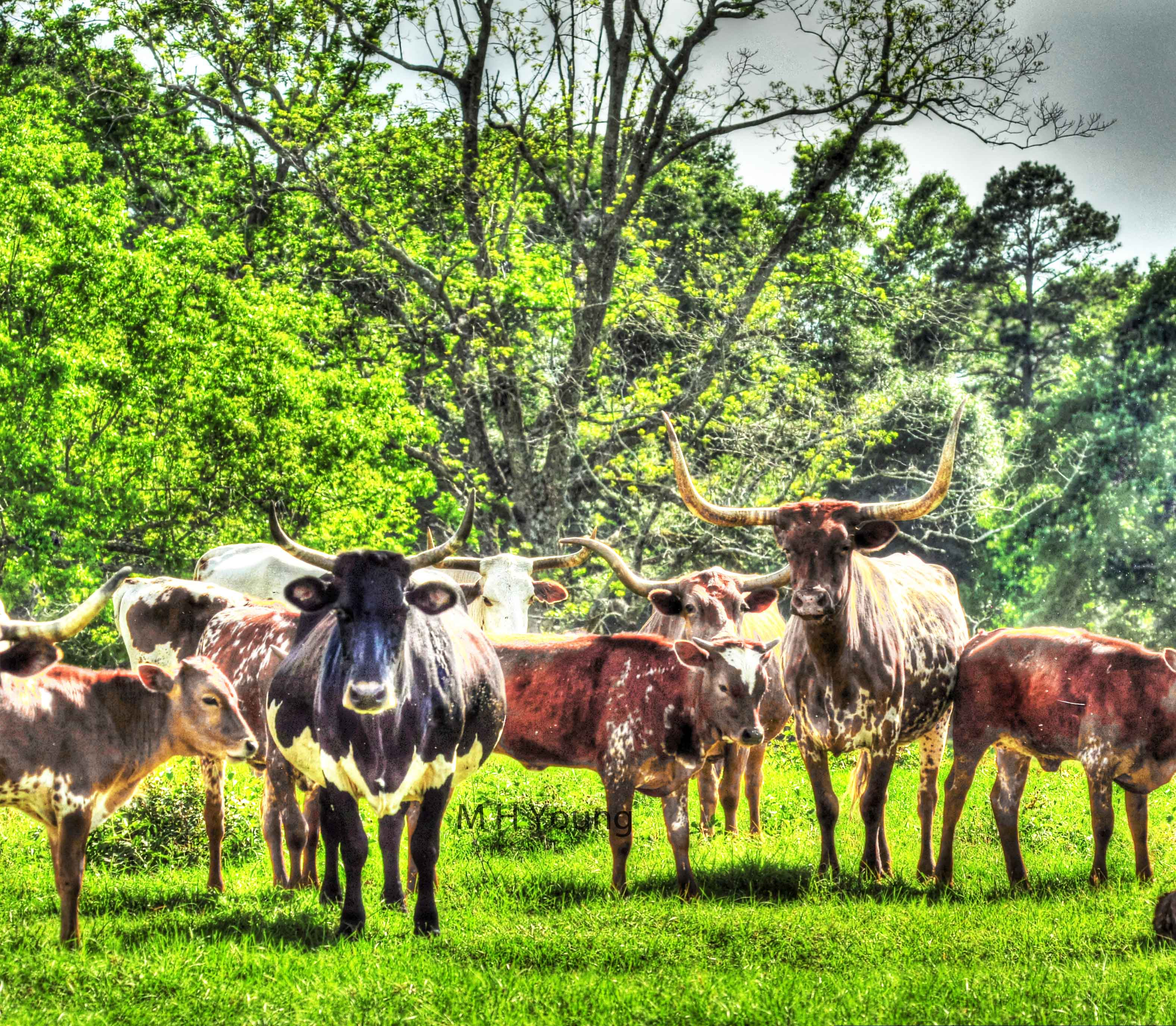 Cows 34_5_6 ldi W M.jpg