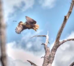 Eagle # 19 wmlr