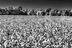 Cotton ldi WM.jpg