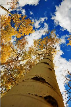 Aspen Trees ldi WM.jpg