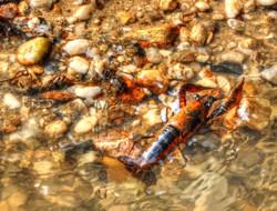 Crawfish  ldi W M.jpg