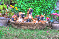Boxer Pups 5 wks. old