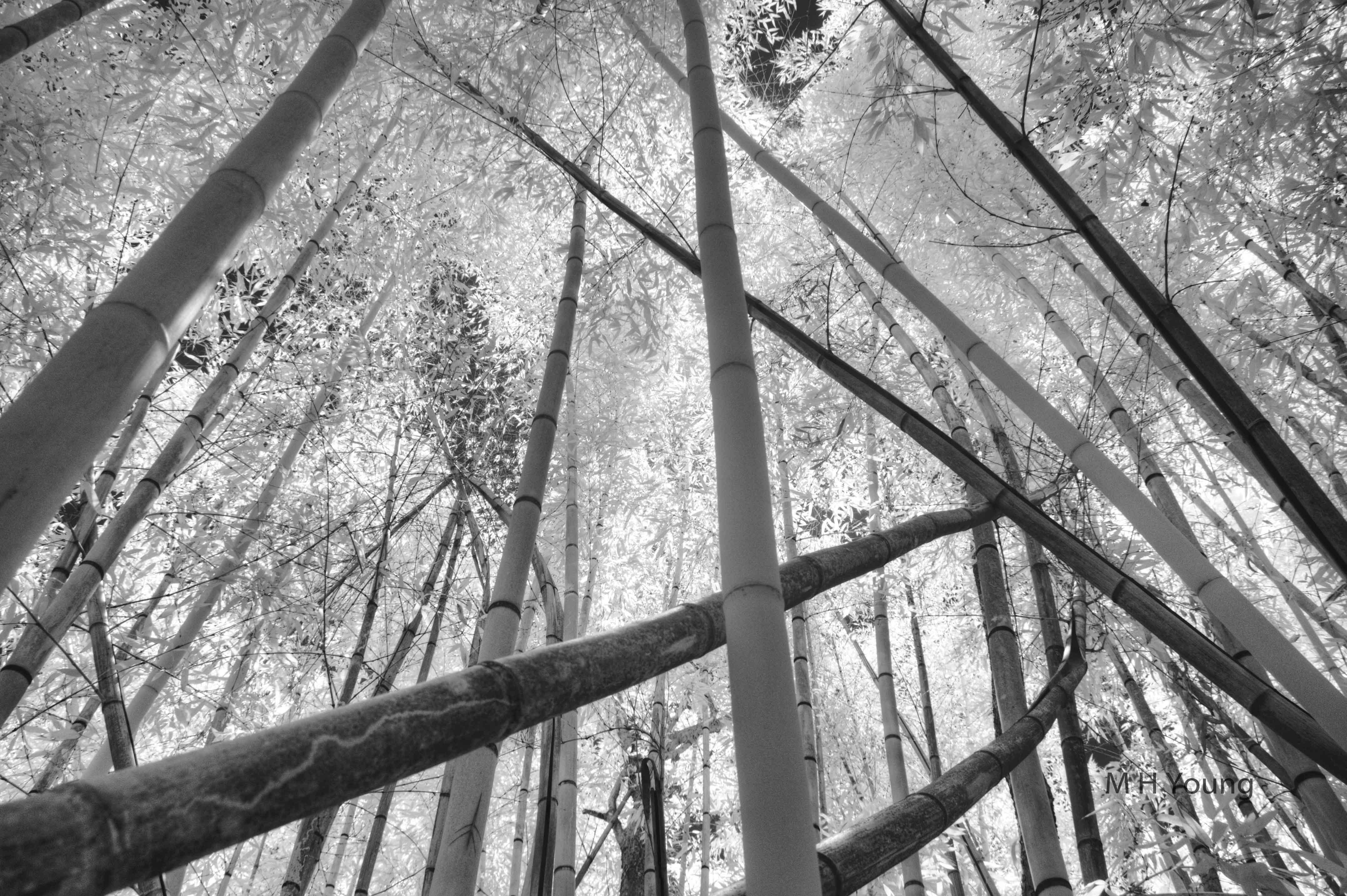 I R Bamboo # 7