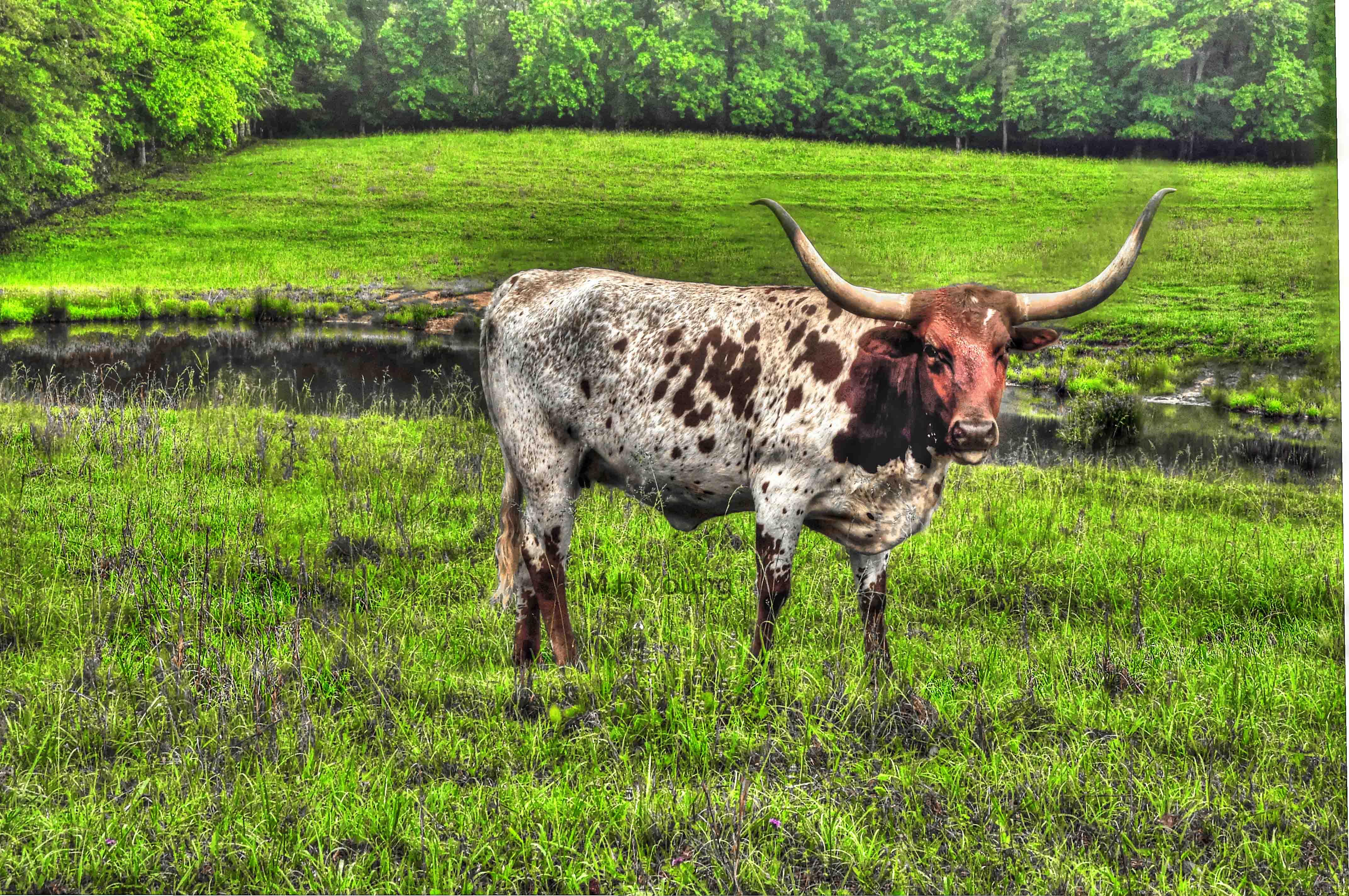 Cows ldi WM 3.jpg