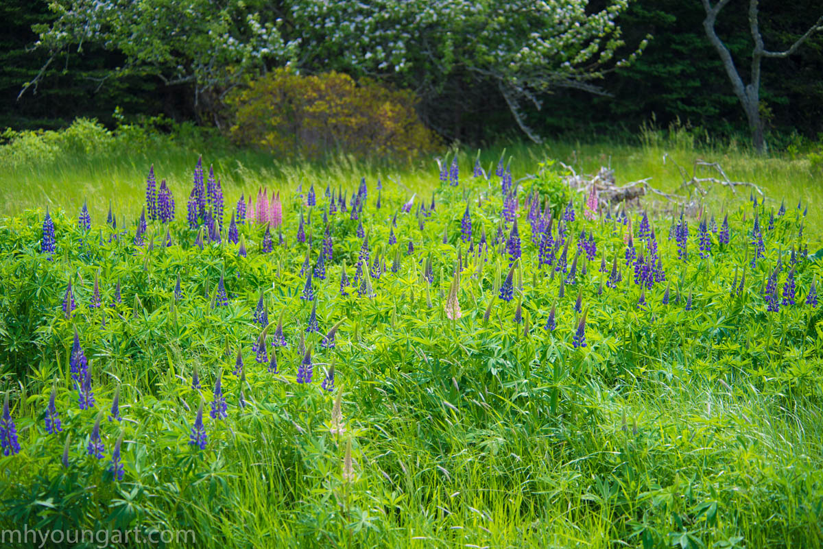 Maine wildflowers 11  copy_1