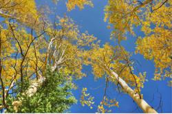 Aspen Treesldi WM.jpg