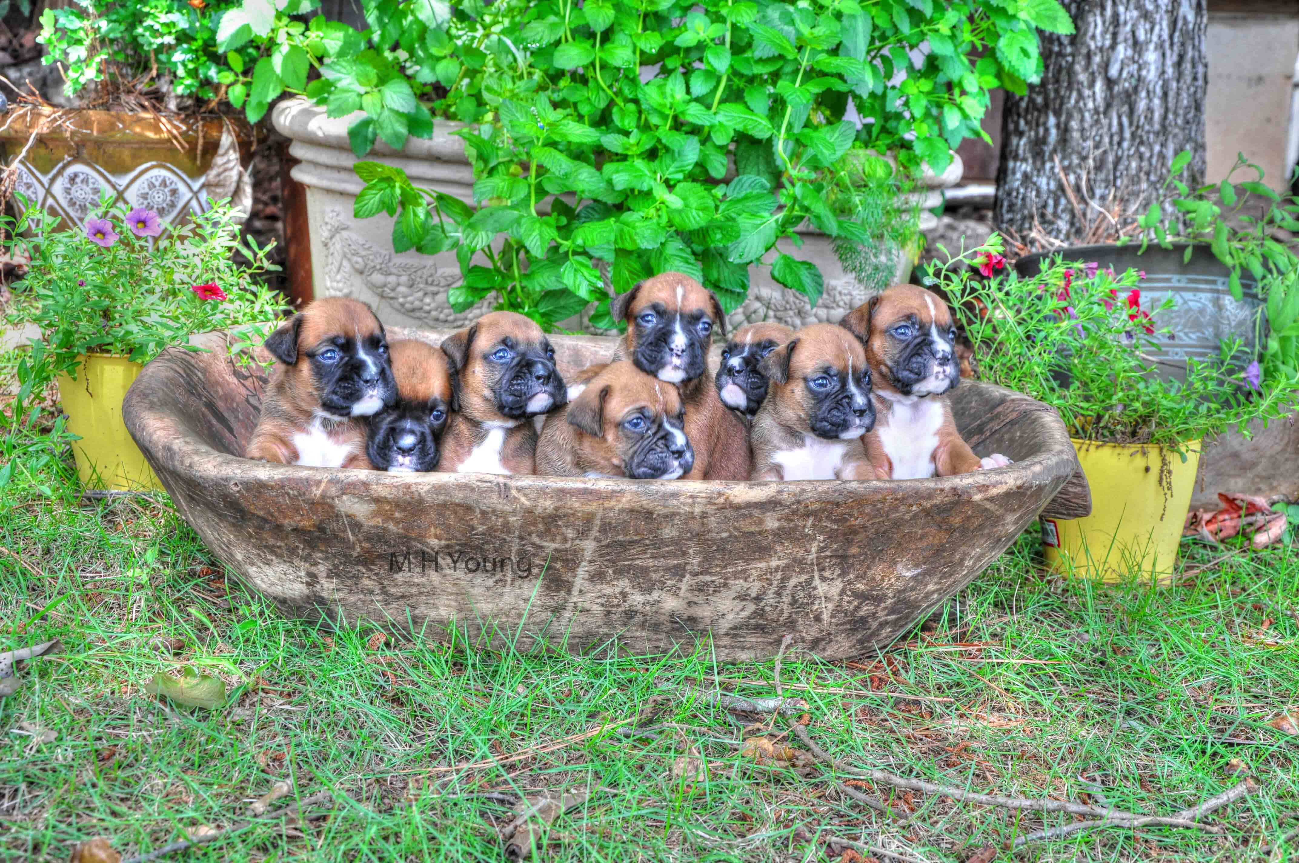 Boxer Pups 4 wks old