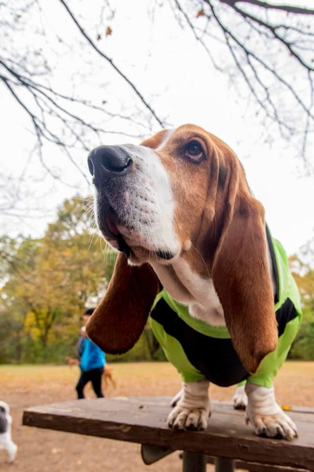 Odin the bassett hound wearing his custom dog coat