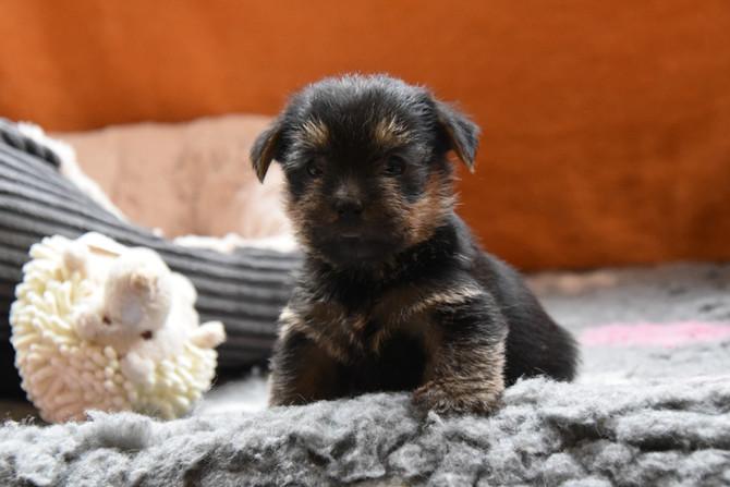 X-mas Hundekinder 5 Wochen alt