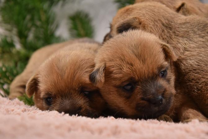 Hundekinder 21 Tage alt (BB Sunnyboy x Ch BB Violetta)