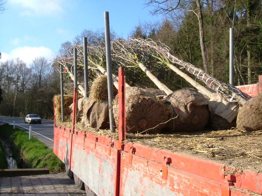 aanplanten van grote bomen