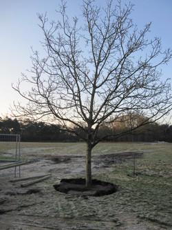 verplanten boom