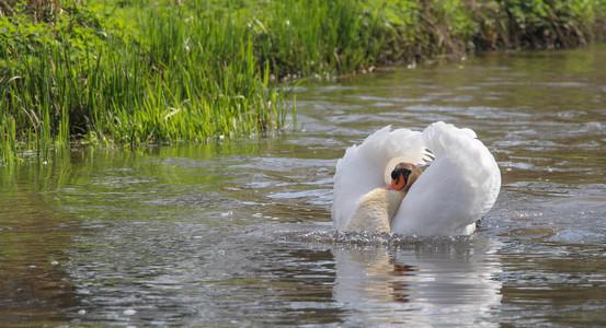 Samson the angry swan