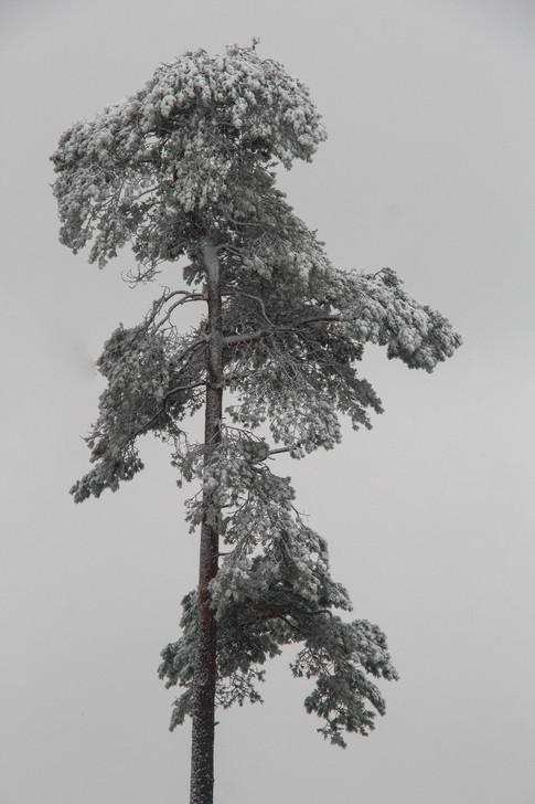 Snow clad pine
