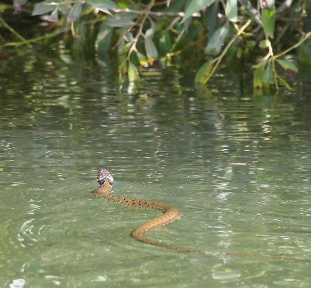 photographs, images, wildlife, birds, snakes, deer, mink, lizard