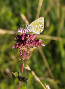 Common blue, Aston Rownant nature reserve by the M40