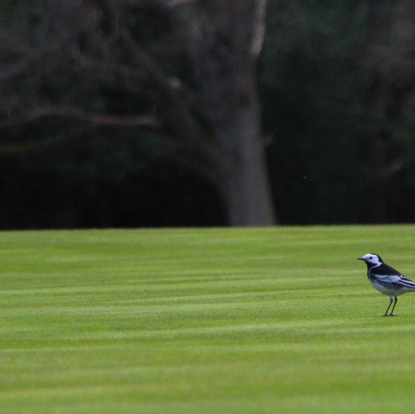 Pied wagtail on golf course