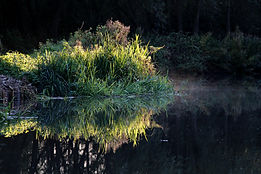 River Wey, reeds, reflection