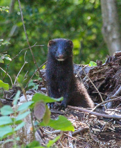 American Mink. An unwelcome, but fascinating and feisty little thing.