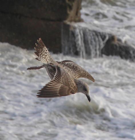 Juvenile Gull, diving
