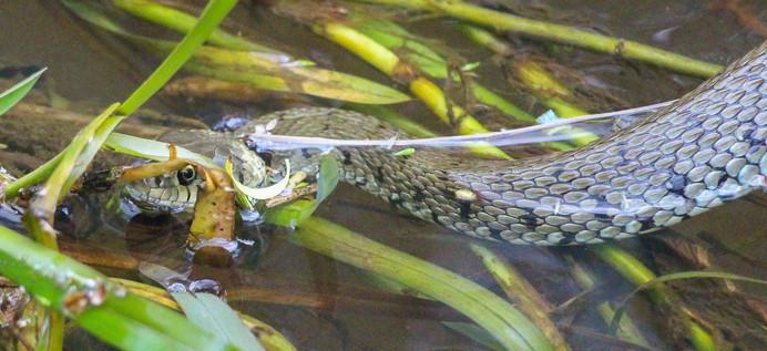 Banded grass snake
