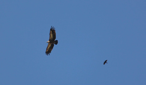 Griffon Vulture and chough
