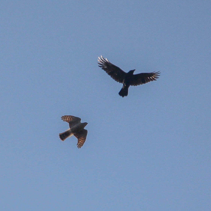 Sparrowhawk and crow, dogfight