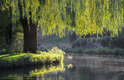 Willows near Guildford