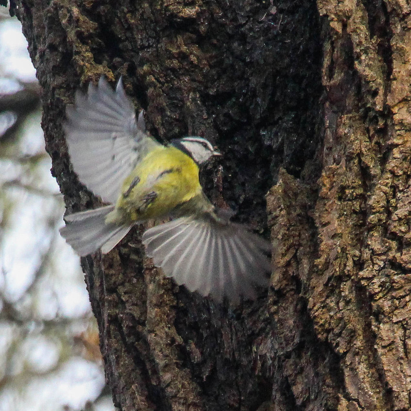 Blue tit, checking out hole