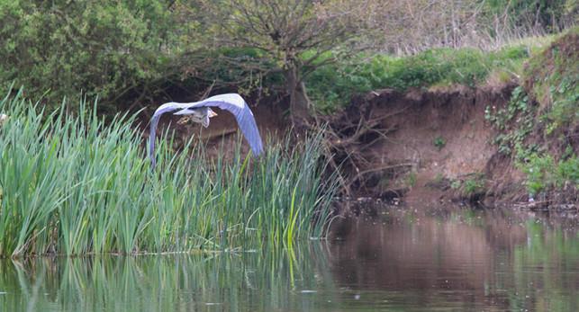 Grey Heron, River Wey
