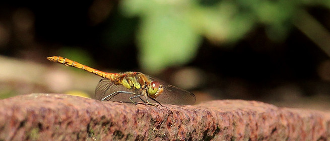 Dragonfly at Great Bottom Flash