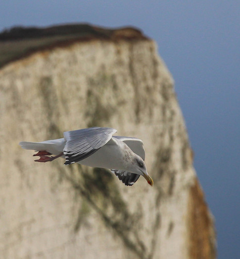 Common Gull, Seaford Head