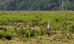 Little Egret, samphire, Beaulieu river