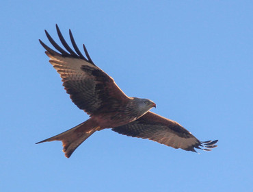 Red kite, an increasingly common sight