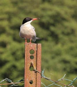 Common Tern, Mytchett