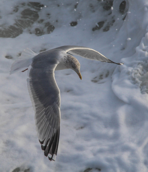 Common gull above the waves