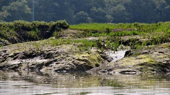 Mudflats and samphire