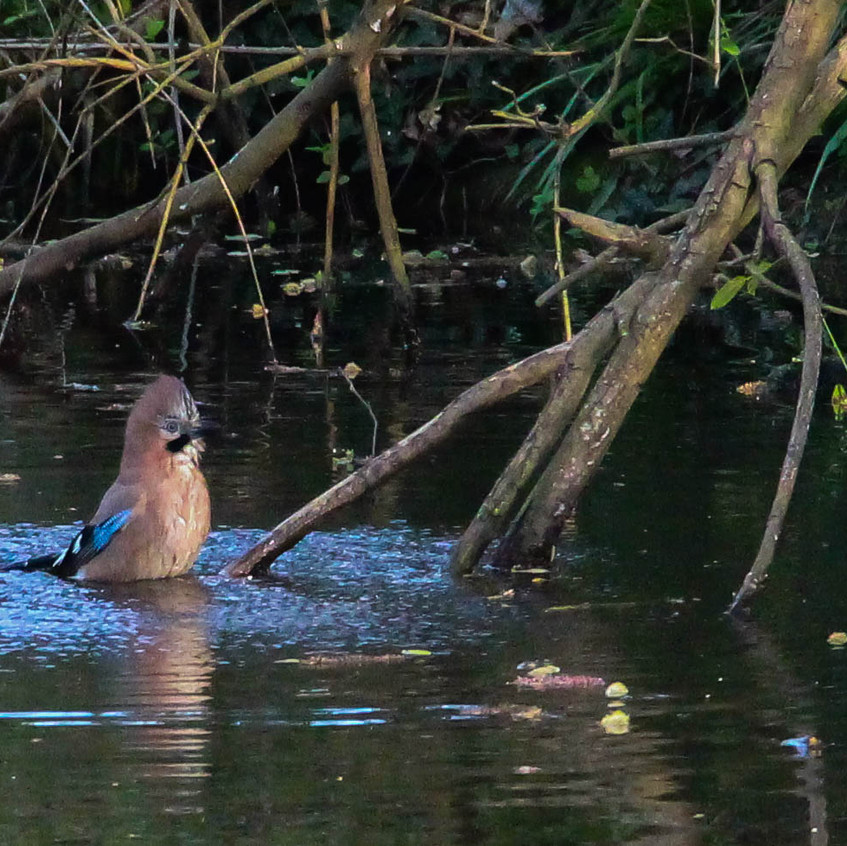 Jay, bathing in the canal