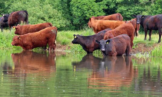 Cattle above Triggs Lock