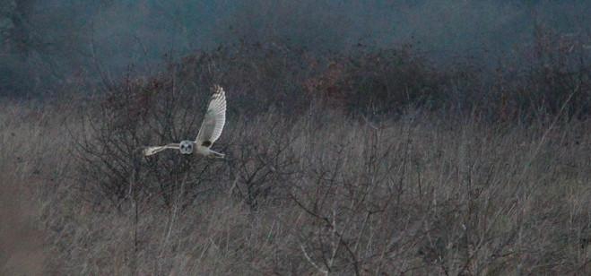 Short eared owl, waving goodbye, Papercourt Meadows
