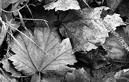 Leaves, black and white